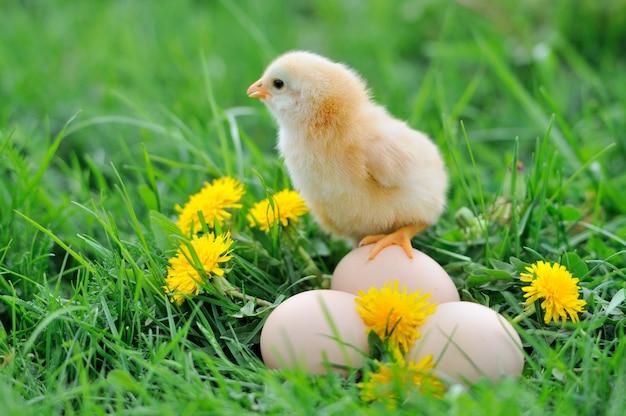 Красивый маленький цыпленок на зеленой траве