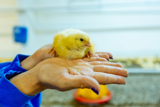 Beautiful little chicken on woman's hands in the farm. small chicken in human hands.close-up.
