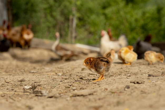 Красивые маленькие цыплята и курицы на природе