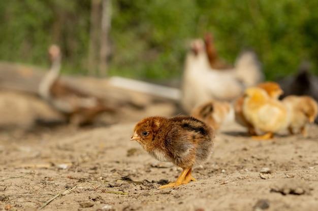 Красивые маленькие цыплята на фоне кур.