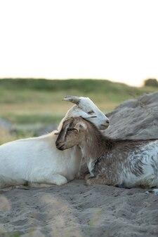 美しい小さなヤギの子は、銃口に触れてフィールドに横たわっています