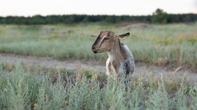 美しい小さなヤギが野原に立っています