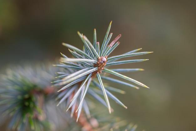 Красивая маленькая зеленая еловая ветка с макрошотом почек