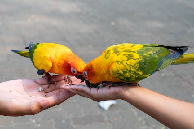 Beautiful little parrot birds standing on child hand and eating sunflower seed on hand