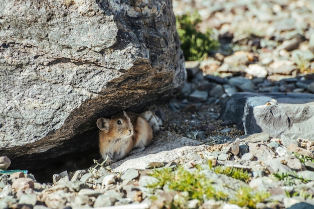 Beautiful little pika rodent hiding from heat under stone in shade.