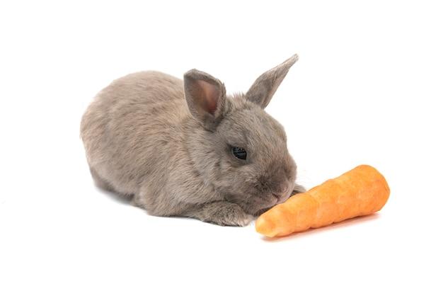 아름 다운 작은 토끼 회색 흰색 배경에 고립 된 당근 거짓말