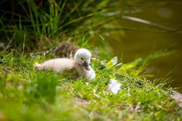 Beautiful little white swan chicks near water in prague park