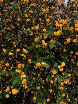 美しい小さな黄色い花が咲く茂み。テクスチャ壁紙。夏の背景