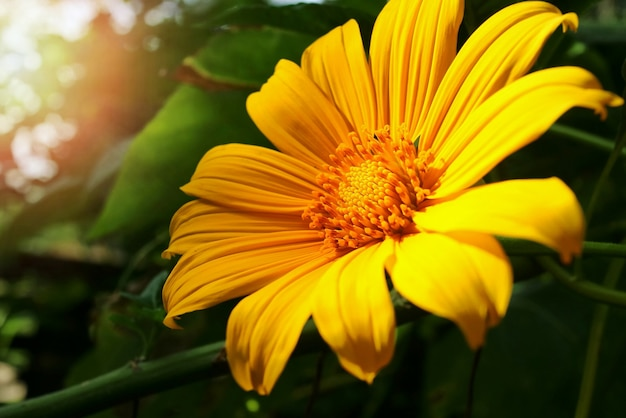 Beautiful little yellow flower, tree marigold or mexican sunflower, with green leaves and sunlight in the morning background. nature background concept.