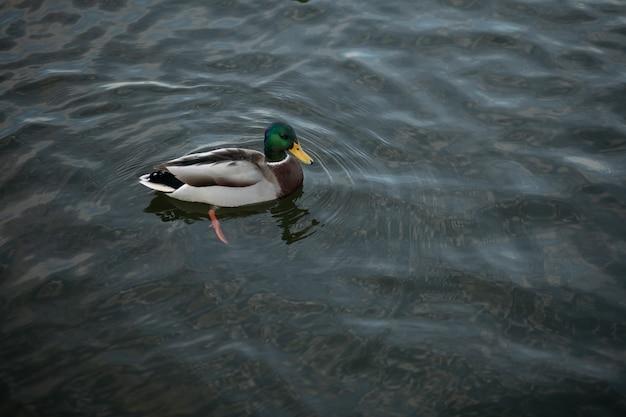 Красивая одинокая утка плавает в большом чистом пруду