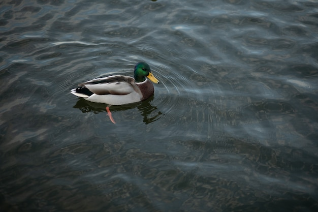 Beautiful lonely duck swims in a large pure pond