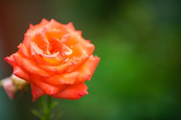 В саду растет красивая одинокая роза с большими лепестками