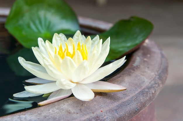 Красивый цветок лотоса в пруду