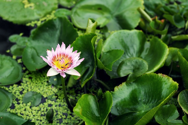 연못에 아름 다운 연꽃입니다.
