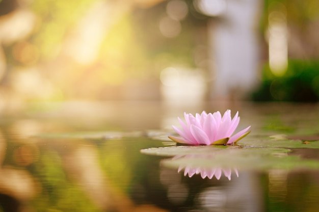 庭で雨の後の水に美しい蓮の花。