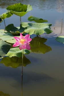 Beautiful lotus flower in the pond. this is the flower of the buddha. Premium Photo