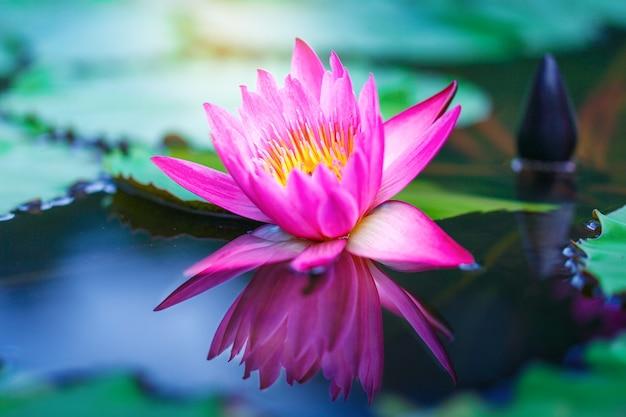 Beautiful lotus flower on surface of pond