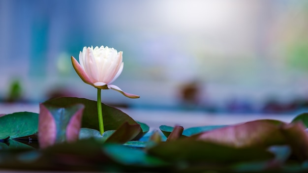 Beautiful lotus flower or water lily on surface of blue pond