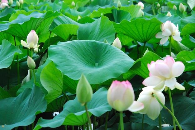 Beautiful lotus flower in the water Premium Photo
