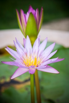 Beautiful lotus flower or waterlily.