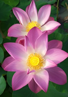 Beautiful lotus flowers are blooming.