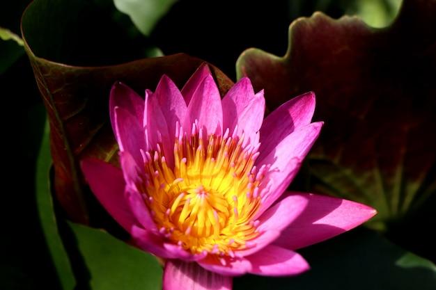 Beautiful lotus flowers in tropical