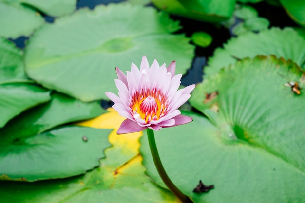 Beautiful lotus in pool