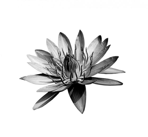Beautiful lotus(single lotus flower isolated on white space)