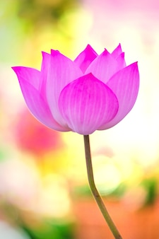 Beautiful lotus single lotus flower