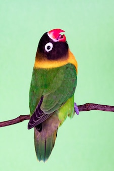 Beautiful lovebird on a branch