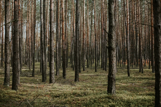 Beautiful low angle shot of a forest with tall dry trees growing in the ground with fresh grass