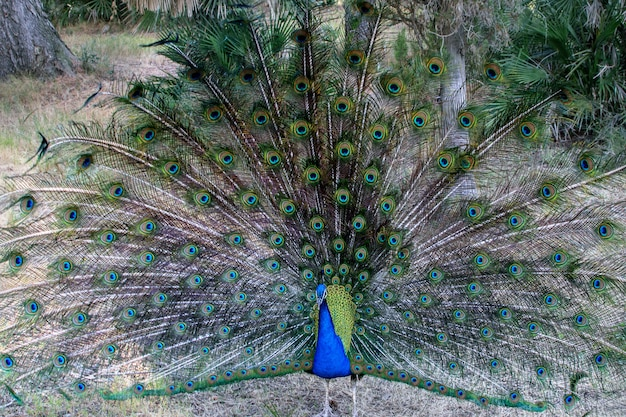 Beautiful lush colorful peacock's tail on natural park. wild animals in nature concept.