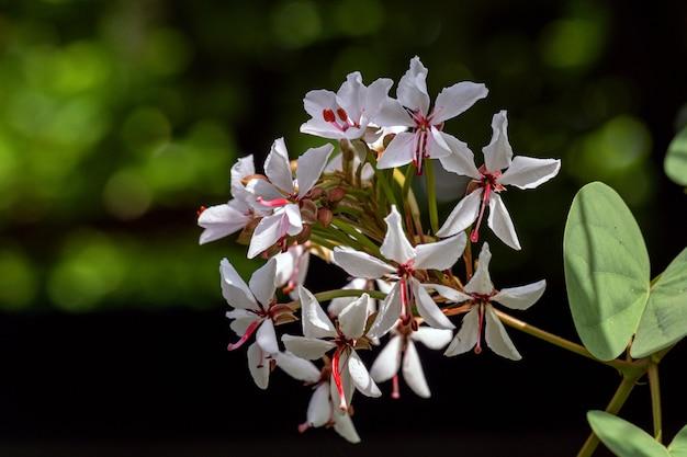 Красивое растение lysiphyllum hookeri