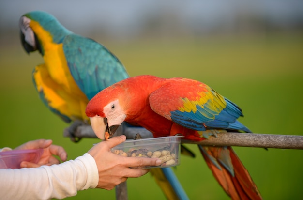 Beautiful macaw, lovely colorful macaw bird.