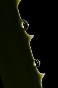 Beautiful macro aloe vera