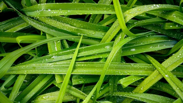 Beautiful macro image of wet grass covered in dew at morning. long leaves covered in water droplets