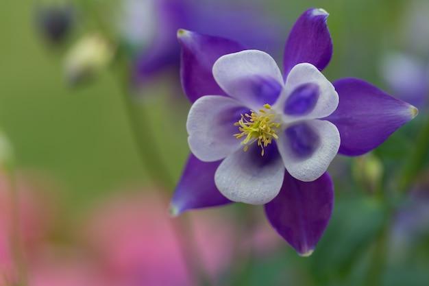 Bella foto macro di aquilegia alpina blu in un giardino sotto la luce del sole