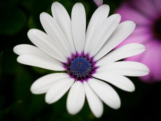정원에서 흰색 케이프 데이지의 아름다운 매크로 사진