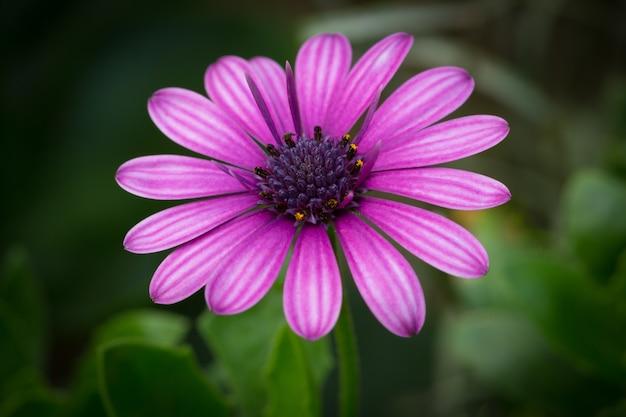 Bella foto macro di una margherita viola del capo in un giardino