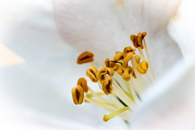 Beautiful macro picture of a white flower with yellow nectars  under the sunlight