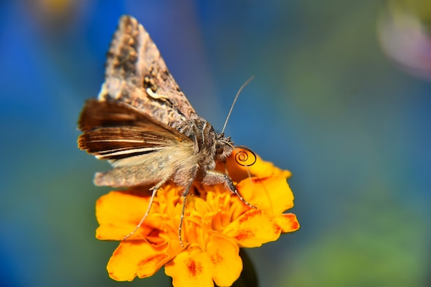 Beautiful macro view of a brown and white butterfly on the yellow flower on blurry greenery