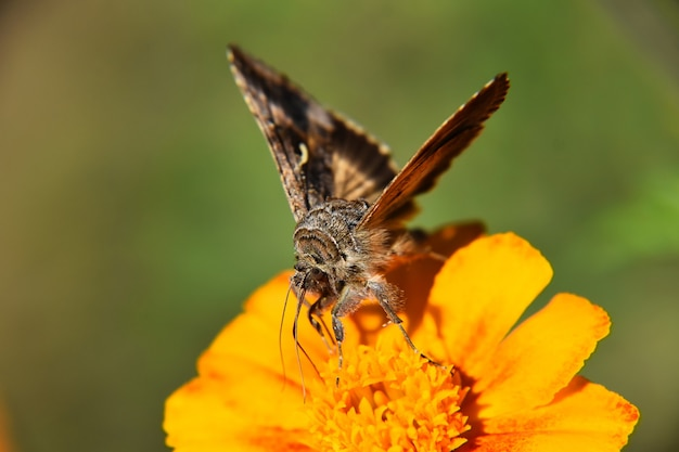 Beautiful macro view of a brown and white butterfly on the yellow flower