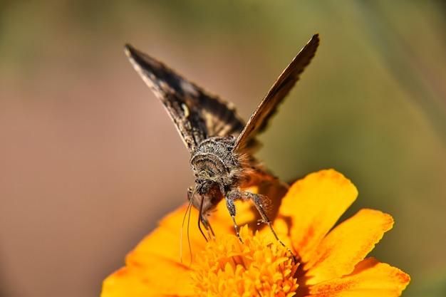 노란색 꽃에 갈색과 흰색 나비의 아름다운 매크로 보기
