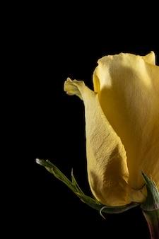 Красивая макро желтая роза