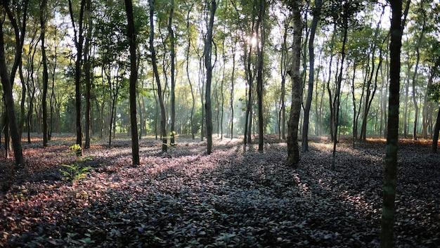Красивый волшебный лес утром с ярким солнцем сквозь деревья.