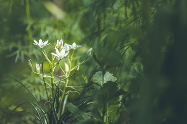 Beautiful magical nature background with white blooming flowers and sunbeam in the dark forest thickets