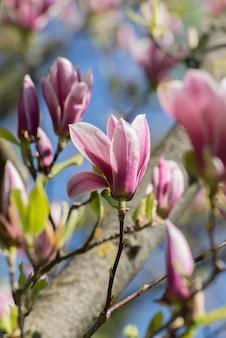 봄에는 아름다운 목련 나무 꽃. 석양 빛에 대하여 jentle 목련 꽃입니다. 로맨틱 크리 에이 티브 톤의 꽃 배경.