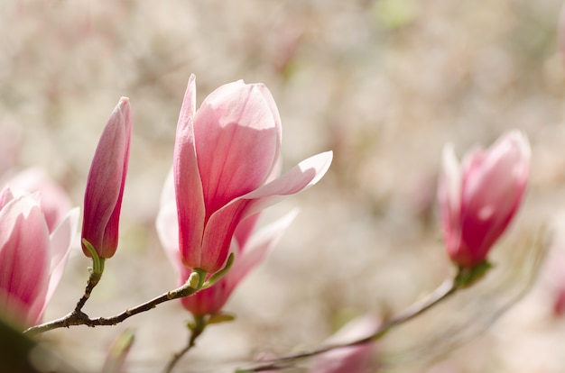 Красивое дерево магнолии цветет весной. цветок магнолии против закатного света.