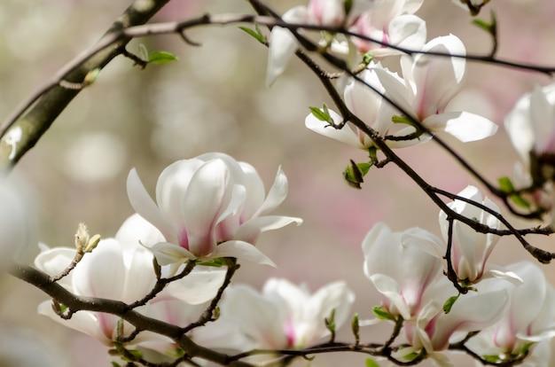 Красивое дерево магнолии цветет весной. белый цветок магнолии против закатного света.