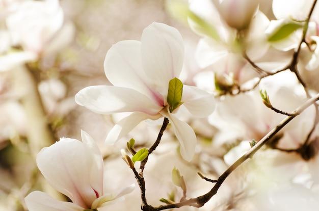 Красивое дерево магнолии цветет весной. белый цветок магнолии против закатного света. Premium Фотографии